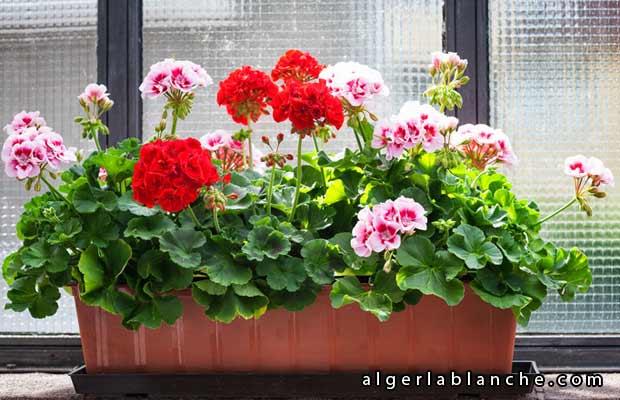 Sept belles plantes de balcon durables alger la blanche le portail de l 39 alg rie - Quand planter les geraniums ...