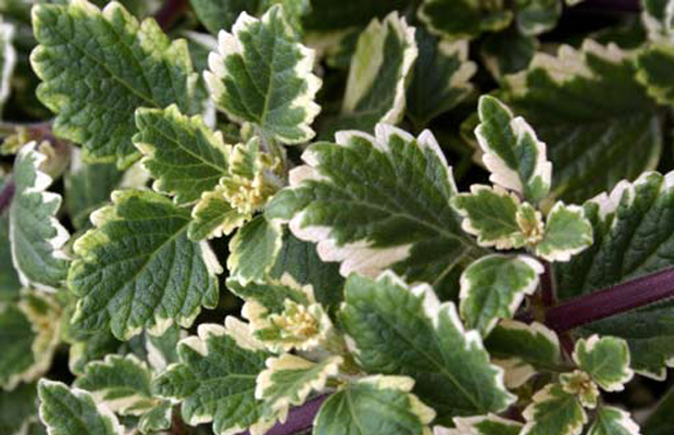 plante qui repousse les moustiques 11 plantes communes qui repoussent les moustiques. Black Bedroom Furniture Sets. Home Design Ideas